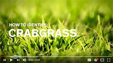 Crabgrass video