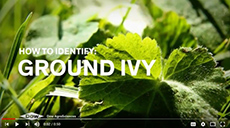 Ground Ivy video