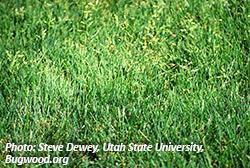 Annual Bluegrass. Photo: Steve Dewey, Utah State University, Bugwood.org